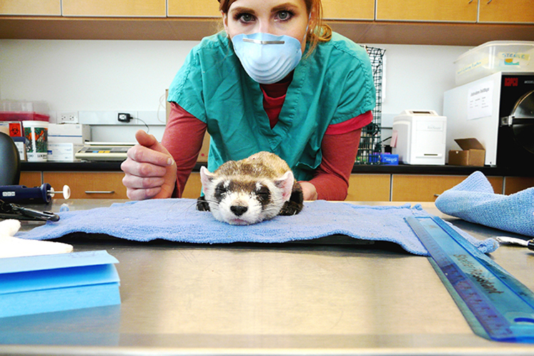 Rafacz collects data from a sedated ferret at the National Black-footed Ferret Conservation Center. Photo courtesy of Michelle Rafacz.